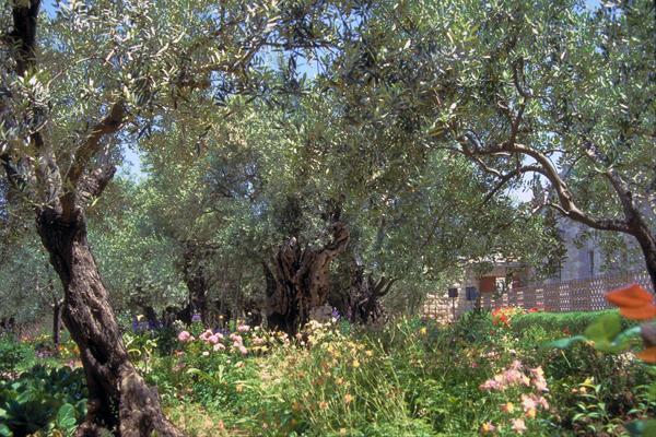 Garden of Gethsemane, Jerusalem